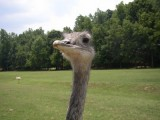Picture Puzzle - Emu